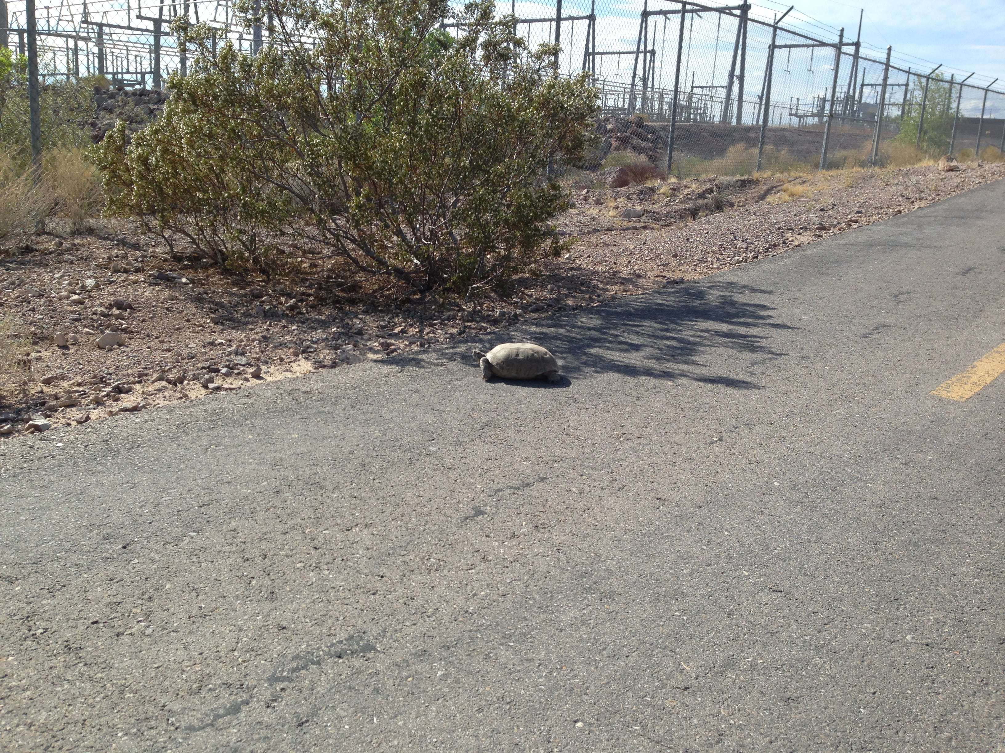RMLT River Mountains Loop Trail Solar Panel Grind Wildlife Sighting Desert Tortoise on trail.